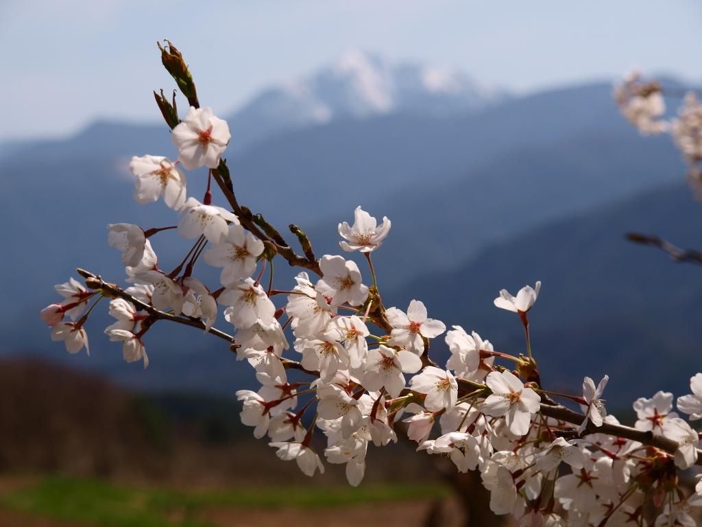 甲斐駒と桜の花