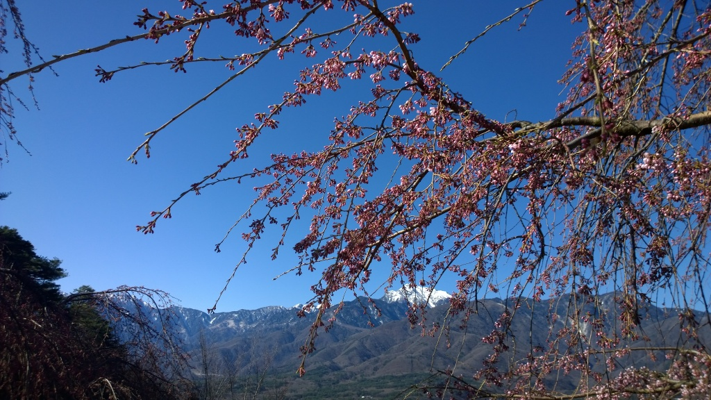 開花を始めた城山公園の枝垂桜と甲斐駒2