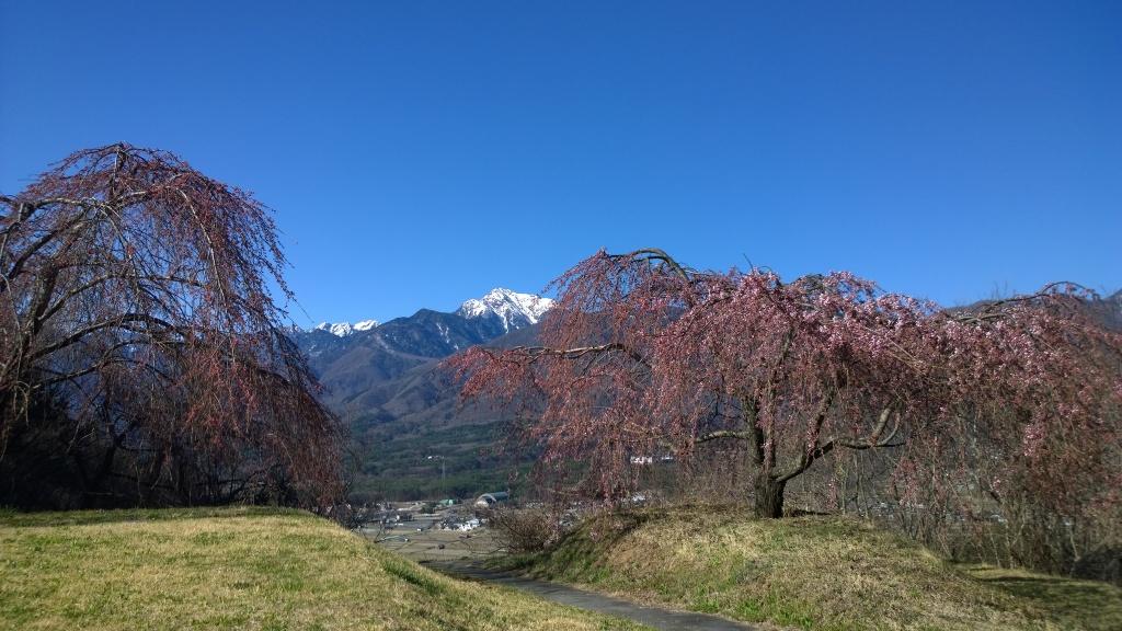 咲き始めた城山公園の枝垂桜と甲斐駒1
