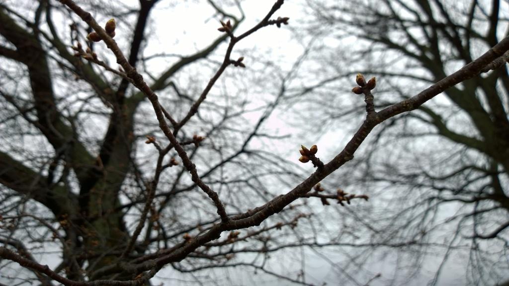 霧雨の中、開花前の鼎談桜2