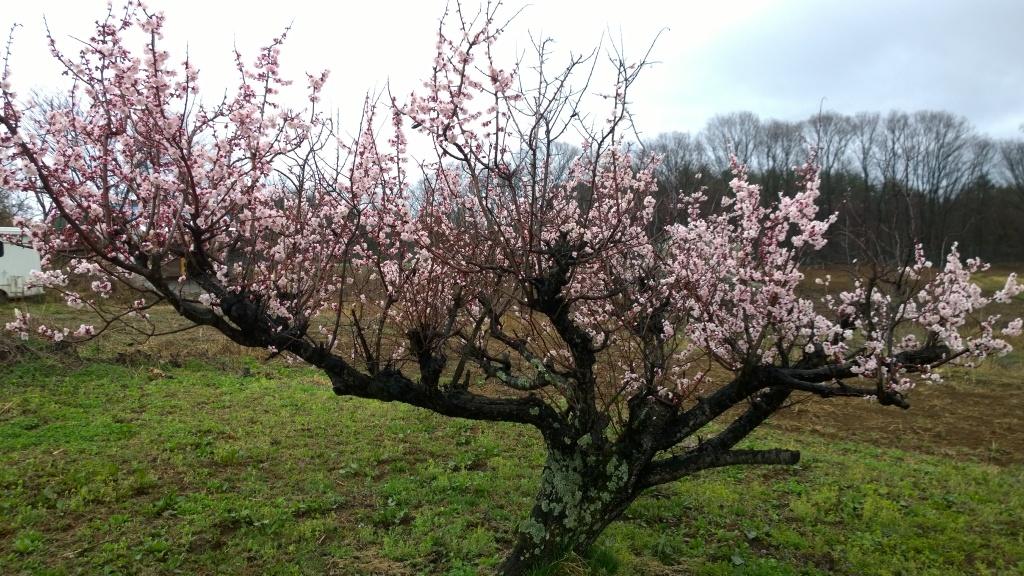 鼎談桜前の梅