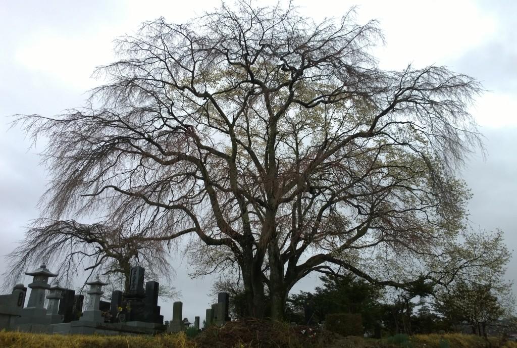 霧雨の中、開花前の田端の枝垂桜1