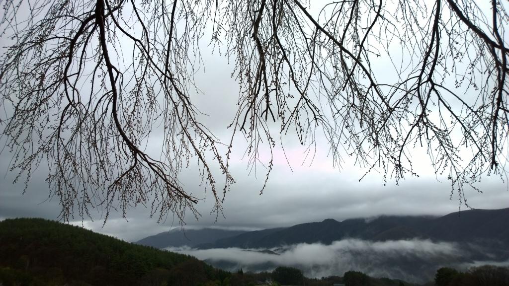 霧雨の中、開花前の田端の枝垂桜2