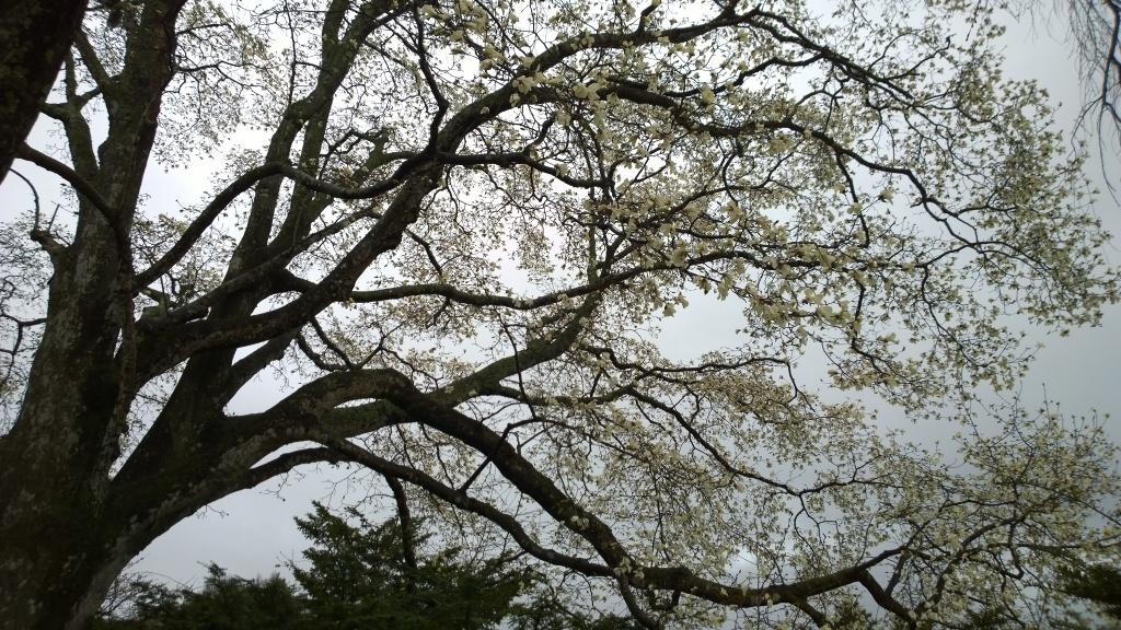 霧雨の中、開花前の田端の枝垂桜とコブシの花