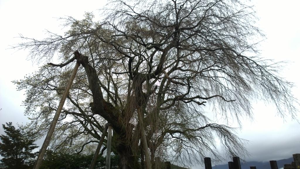 霧雨の中、開花前の田端の枝垂桜3