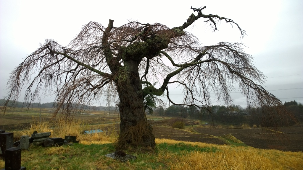 霧雨の中、開花前の葛窪の枝垂桜1
