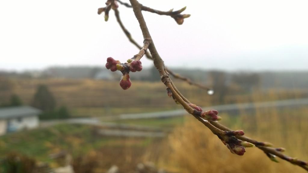 霧雨の中、開花前の葛窪の枝垂桜2