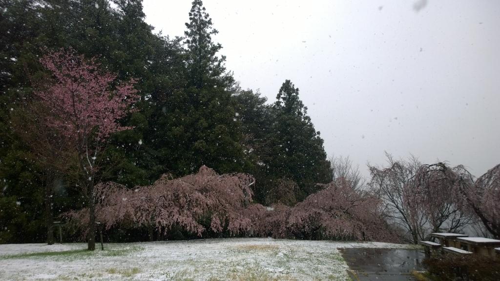 名残雪の朝,城山公園の枝垂桜2
