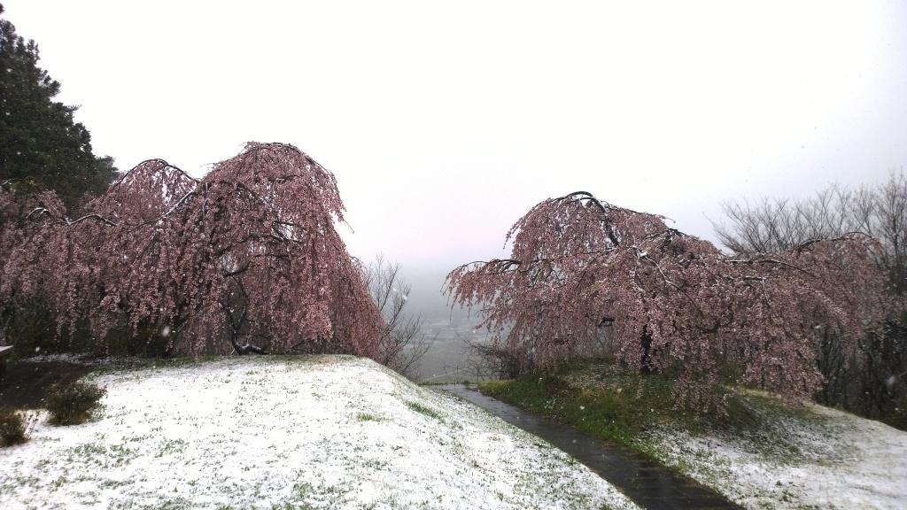 名残雪の朝,城山公園の枝垂桜5