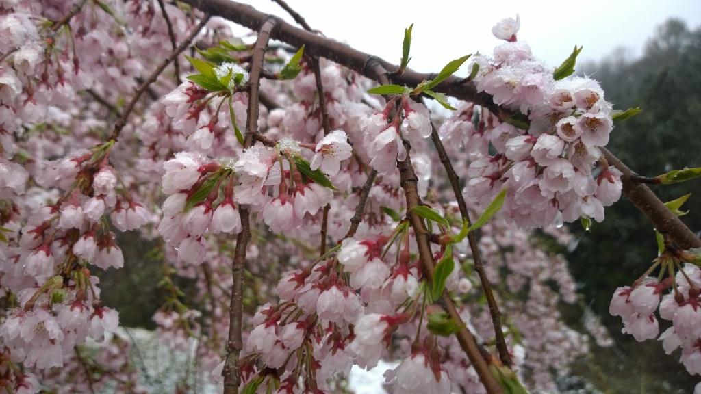 名残雪の朝,城山公園の枝垂桜1