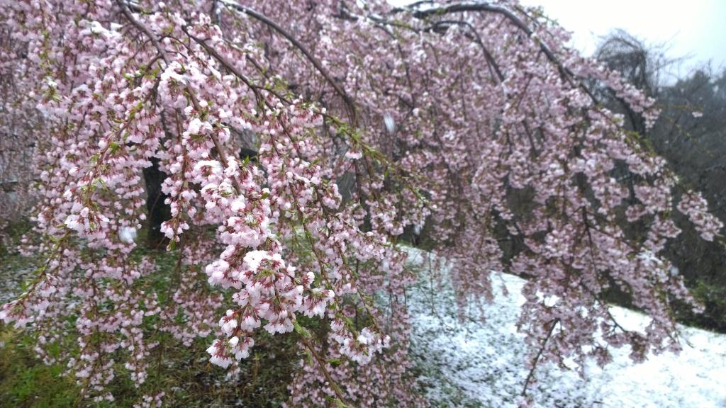 名残雪の朝,城山公園の枝垂桜3