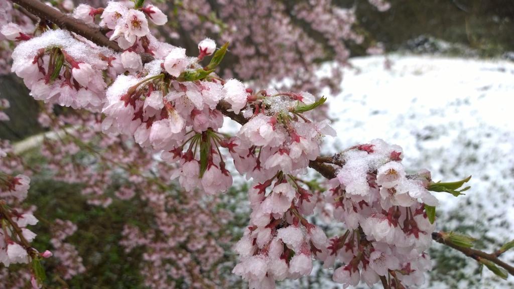 名残雪の朝,城山公園の枝垂桜4