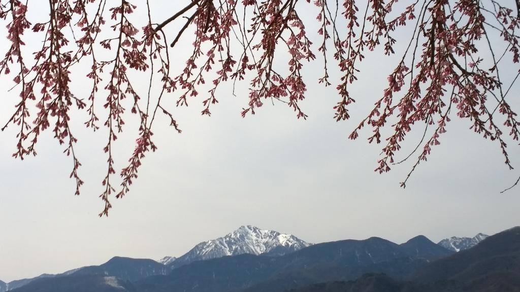花開く田端の枝垂桜3