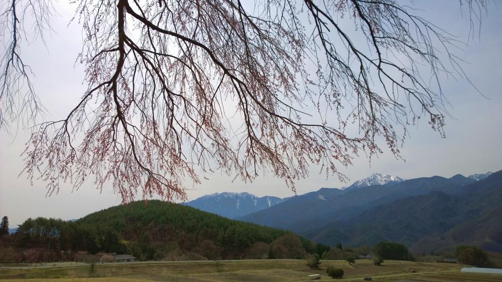 開き始めた田端の枝垂桜
