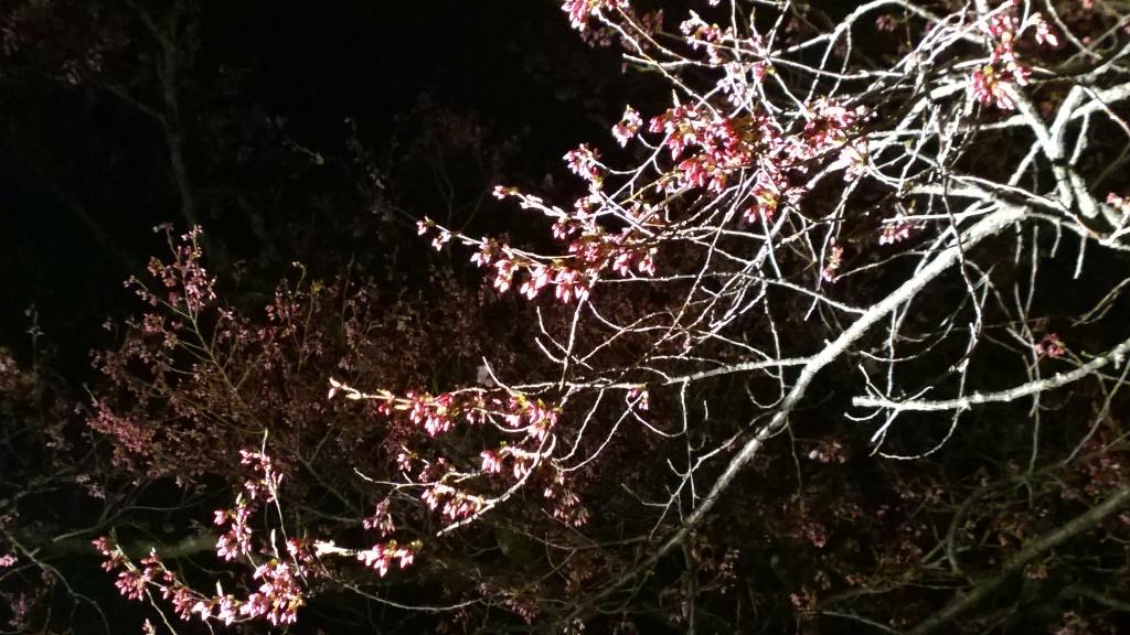 深叢寺の夜桜1
