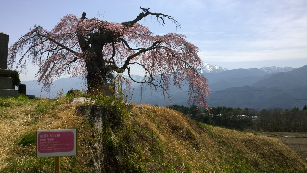 葛窪の枝垂桜と案内板