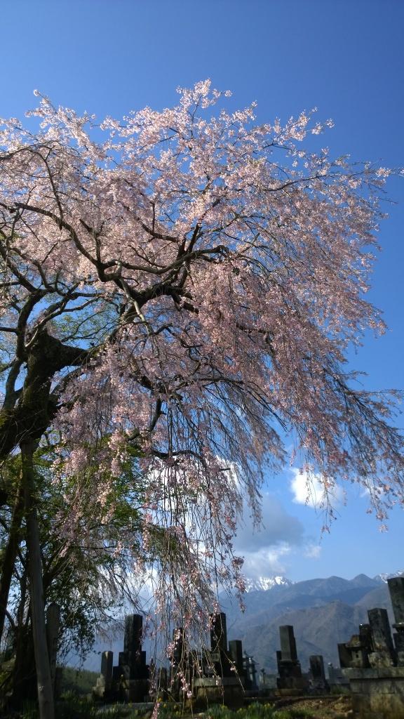 散り始めた田端の枝垂桜