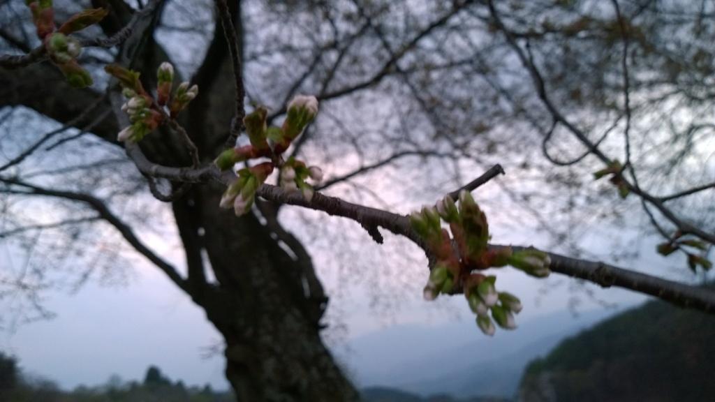 蕾膨らむ鼎談桜