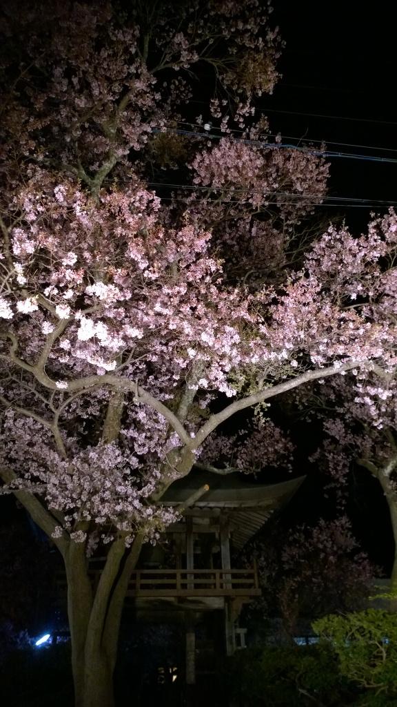 盛りを迎えた深叢寺の夜桜