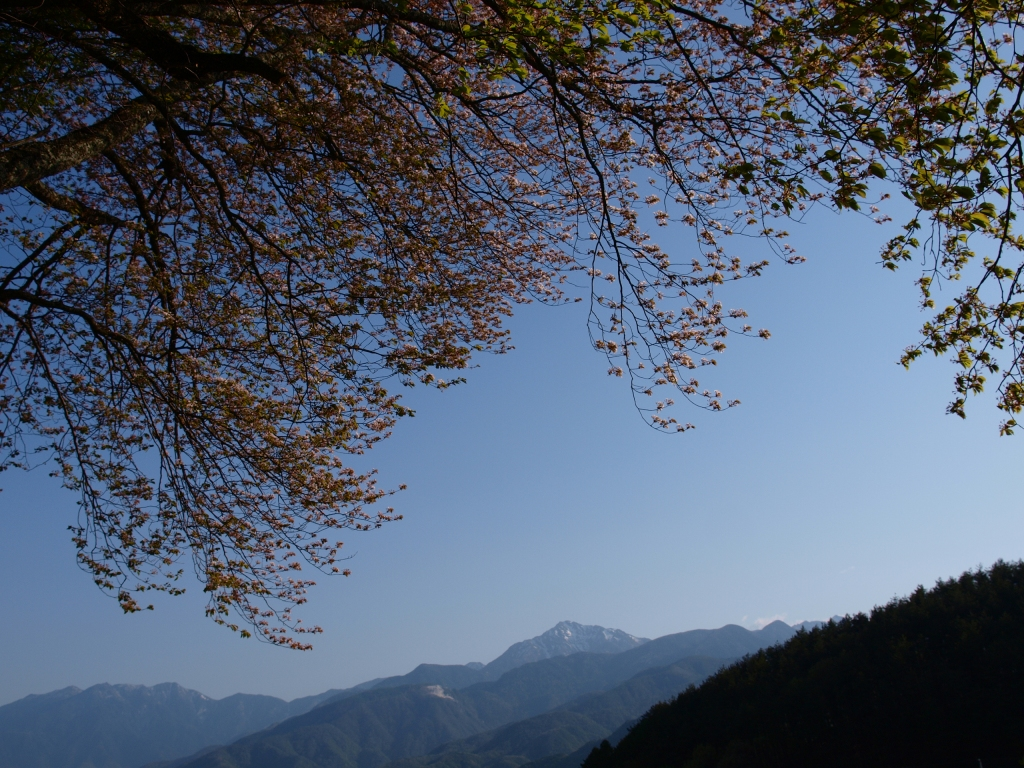 葉桜となった鼎談桜と甲斐駒