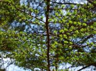 落葉松の幼葉