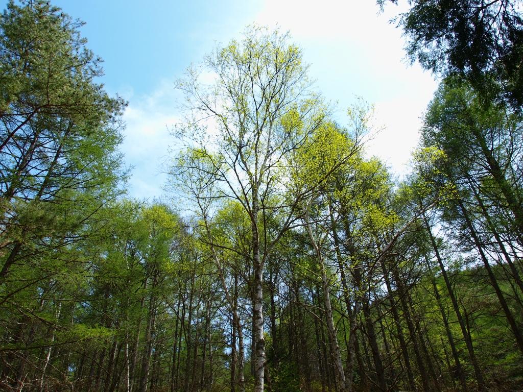 新緑の白樺と落葉松林