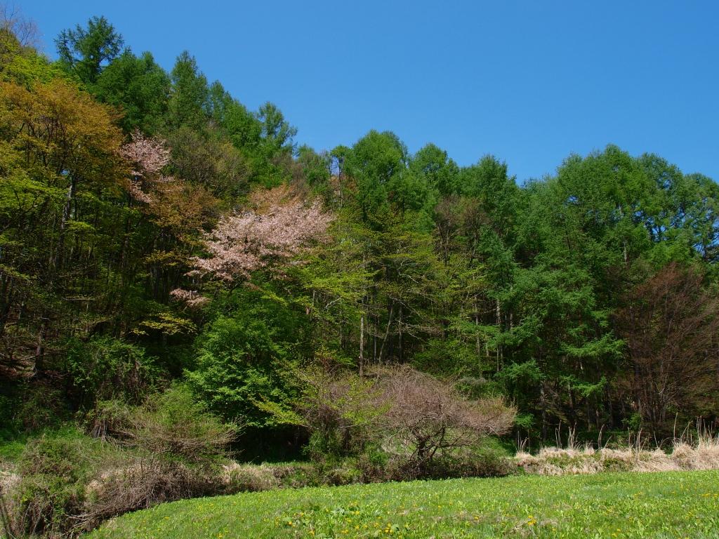 山桜と青空