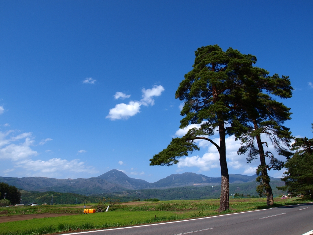 碧空の蓼科山と風除けの松