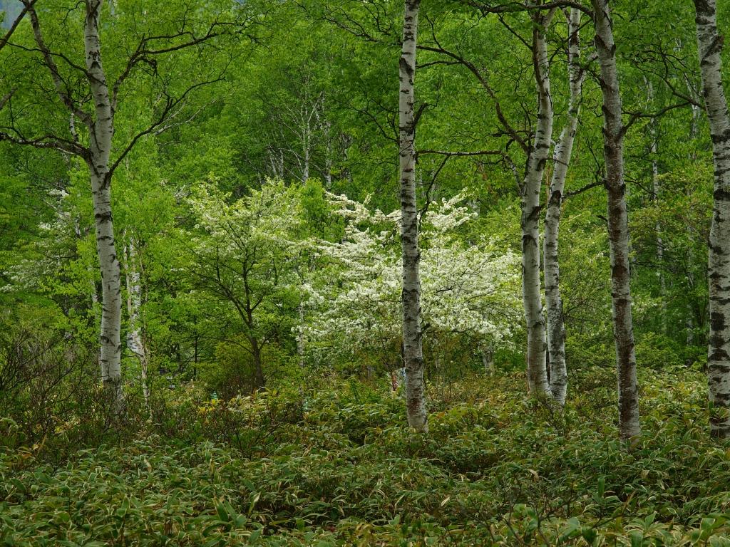 八千穂高原の少し早い白樺4