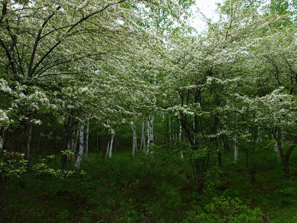 白樺とヤマナシの花