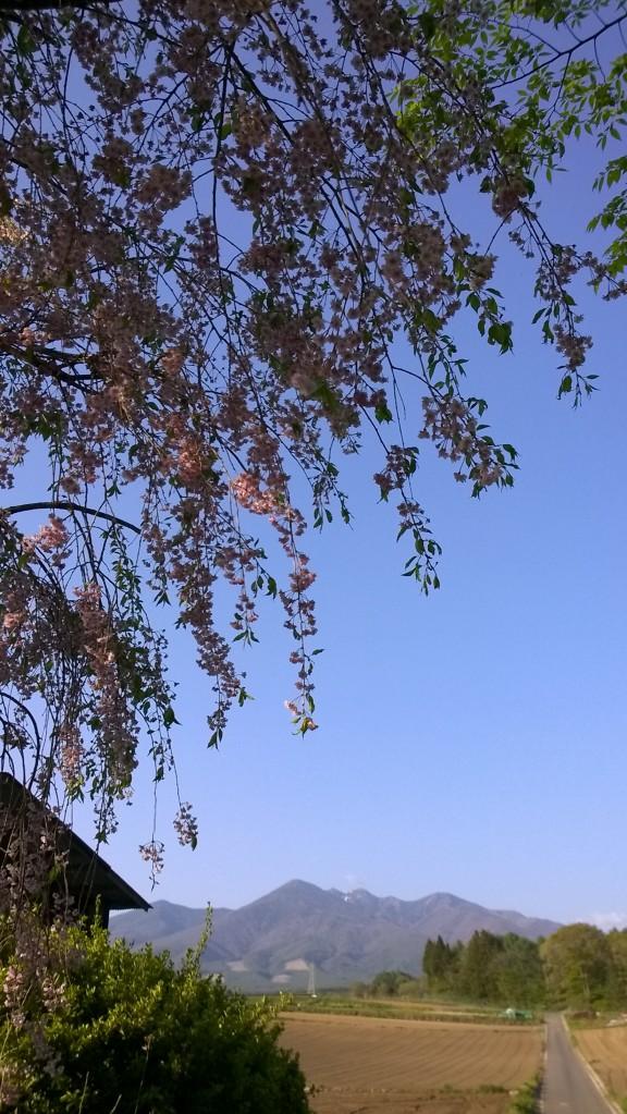 枝垂桜と八ヶ岳