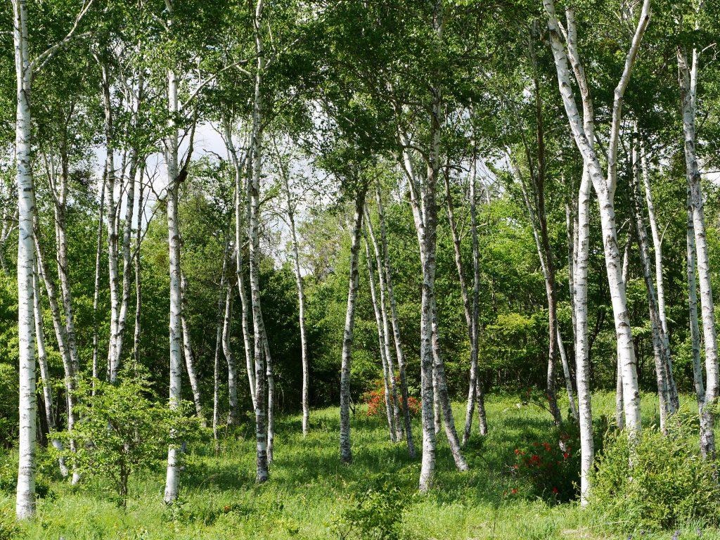 LumixG5試写9八ヶ岳自然文化園の白樺林