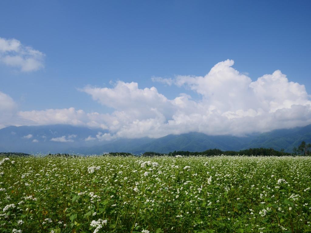 梅雨間の蕎麦畑1