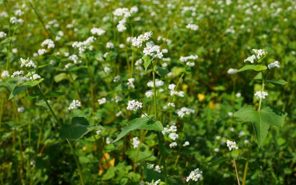 梅雨間の夏蕎麦畑2