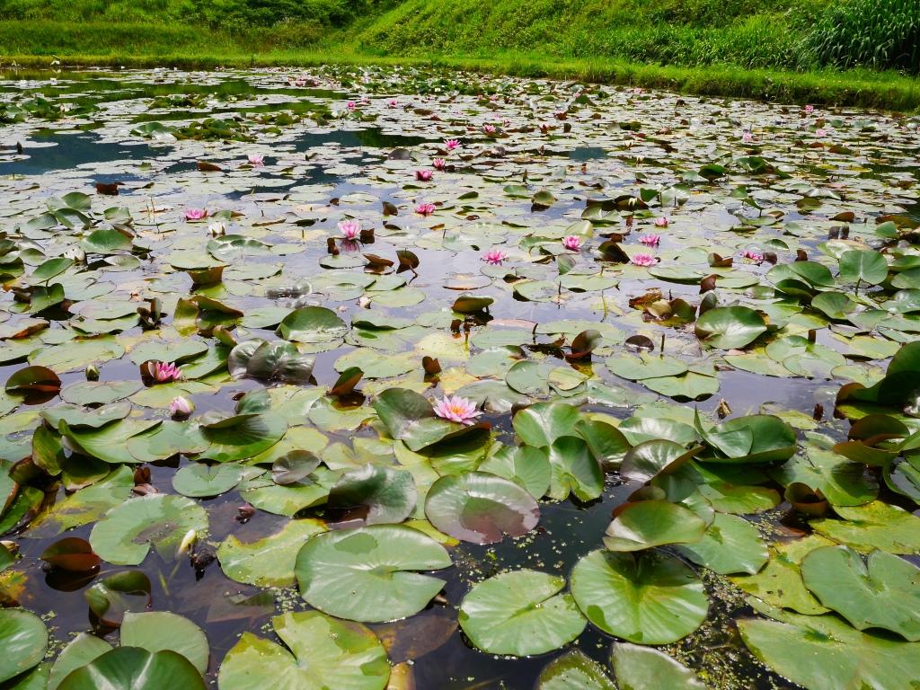 井戸尻考古館のスイレン池