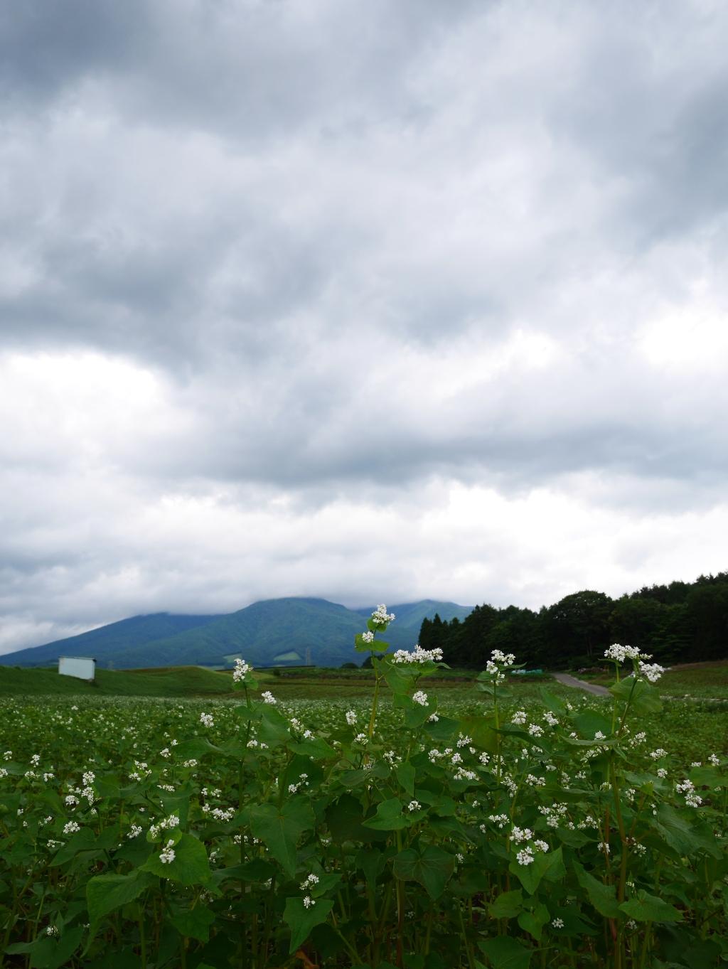 夏蕎麦畑と八ヶ岳