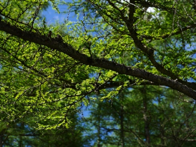 落葉松の緑1