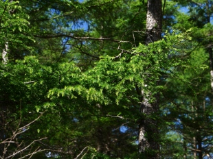 落葉松の緑2