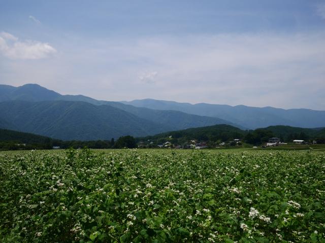 夏の蕎麦畑
