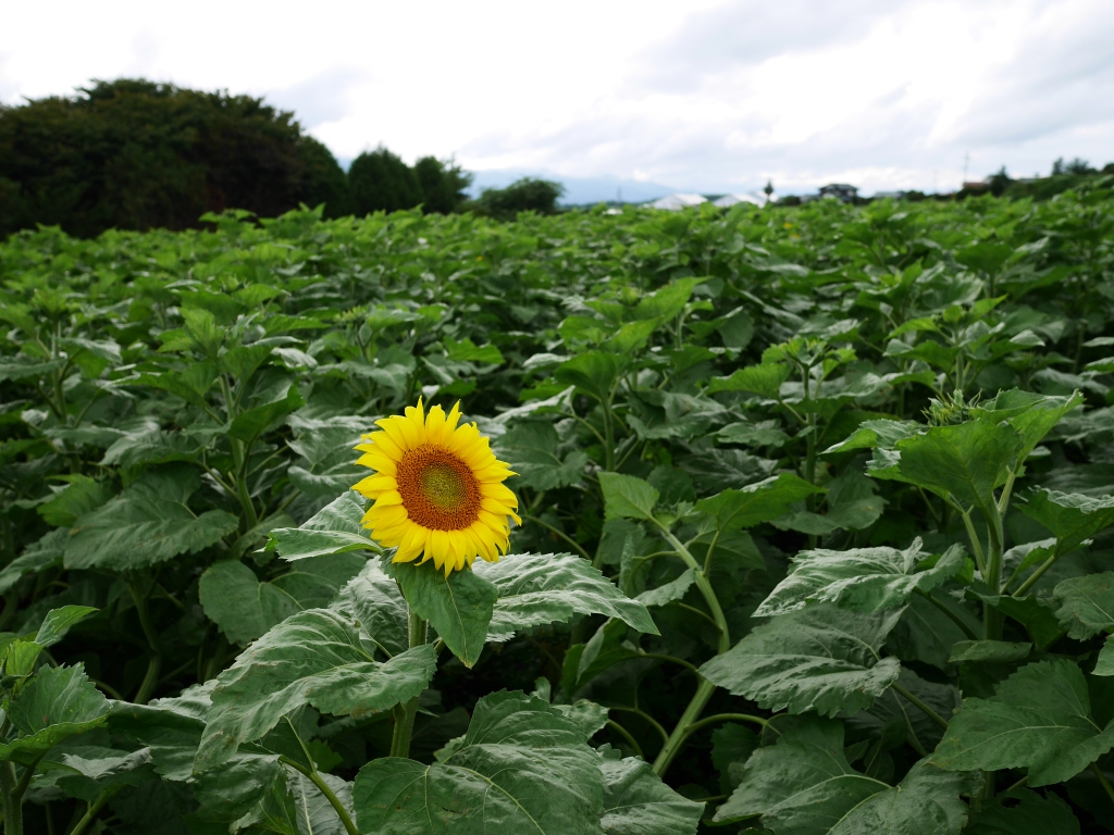 立沢の向日葵畑