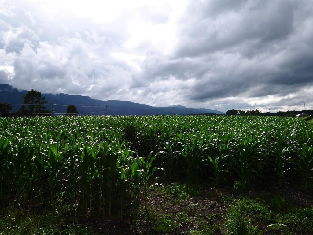 梅雨明けの立沢のトウモロコシ畑