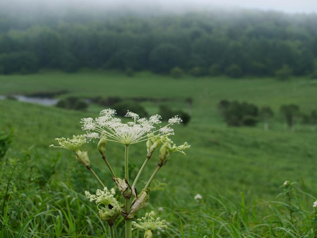 霧の池のくるみとミヤマシシウド5