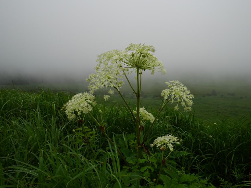 霧の池のくるみとミヤマシシウド1