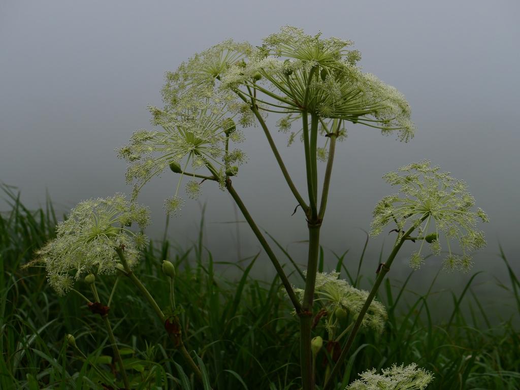 霧の池のくるみとミヤマシシウド3
