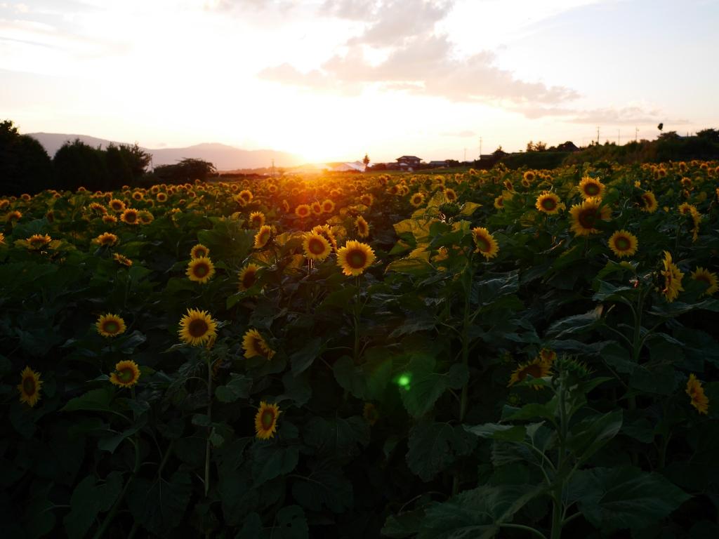 盛夏の夕暮れ、立沢の向日葵畑1