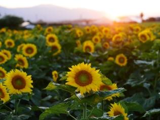 盛夏の夕暮れ、立沢の向日葵畑2