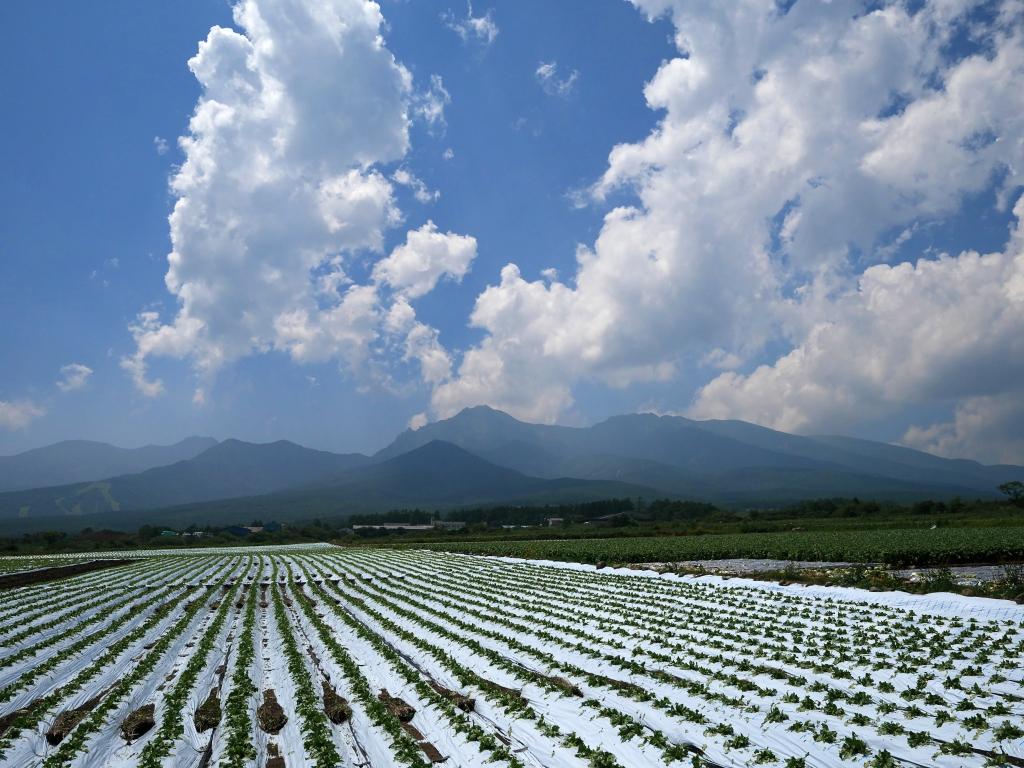 レタス畑と八ヶ岳