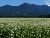 秋晴れの空と八ヶ岳を望む蕎麦畑2