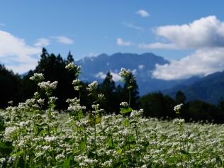 秋晴れの空と鳳凰三山を望む蕎麦畑1