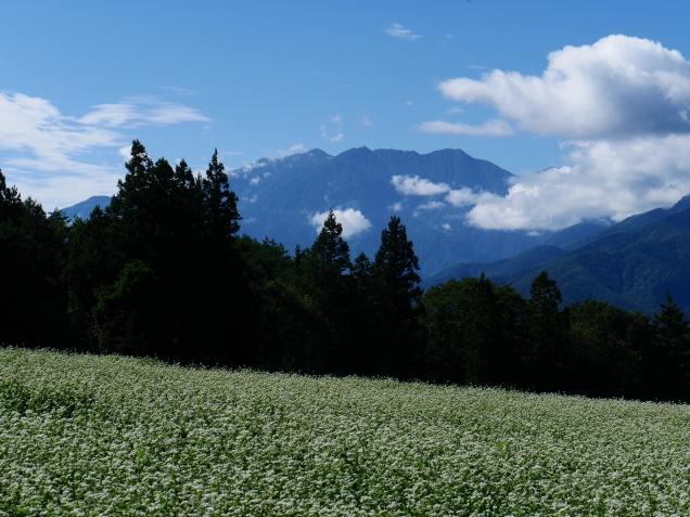 秋晴れの空と鳳凰三山を望む蕎麦畑2